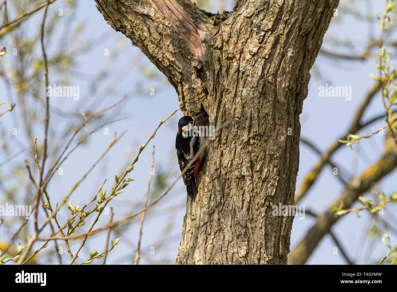 Great spotted woodpecker (Dendrocopos major) inspecting nest hole in  tree. Male crimson nape black and white plumage and red crimson under short tail Stock Photo