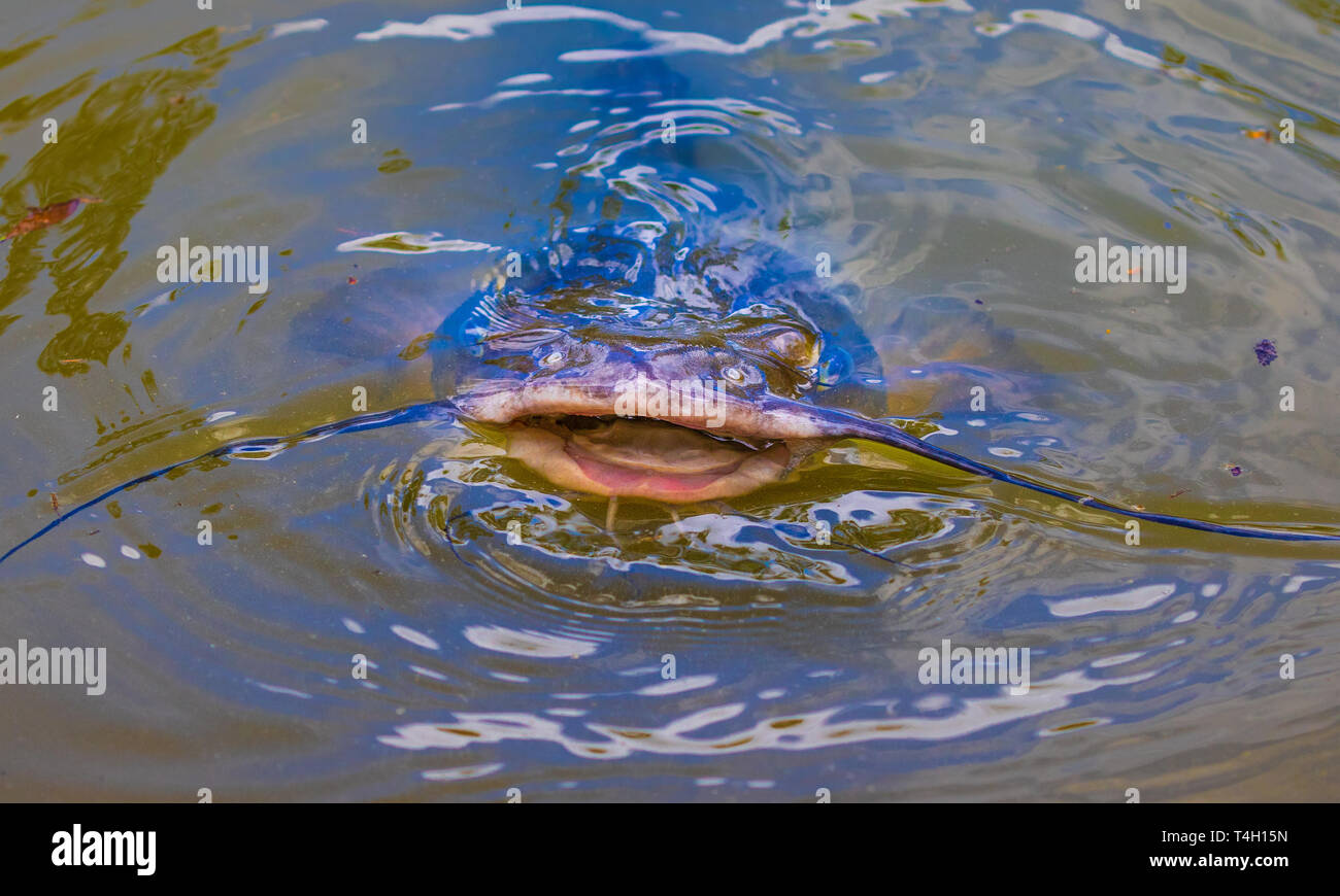 A catfish with open mouth, breaking above water. - Stock Image