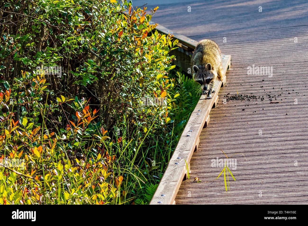 An American Raccoon walks along a board above a swamp. Stock Photo