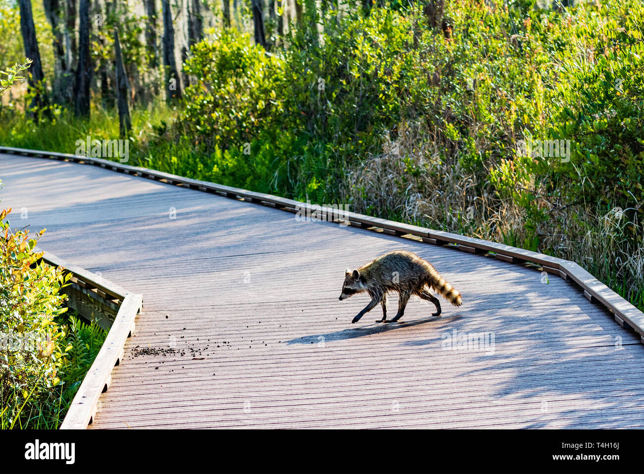 Okefenokee Swamp, Folkston, GA, USA-3/30/19: An American raccoon, dripping wet from the swamp, crosses a tourist boardwalk in Okefenokee swamp. Stock Photo
