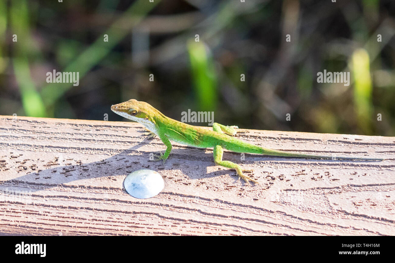 A green anole lizard (anolis carolinensis) . Stock Photo