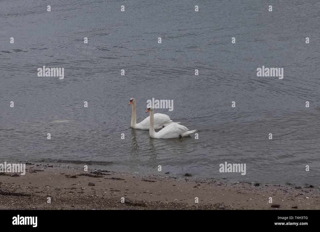 Two Beautiful White Swans at the side of a Irvine Harbour Scotland Stock Photo