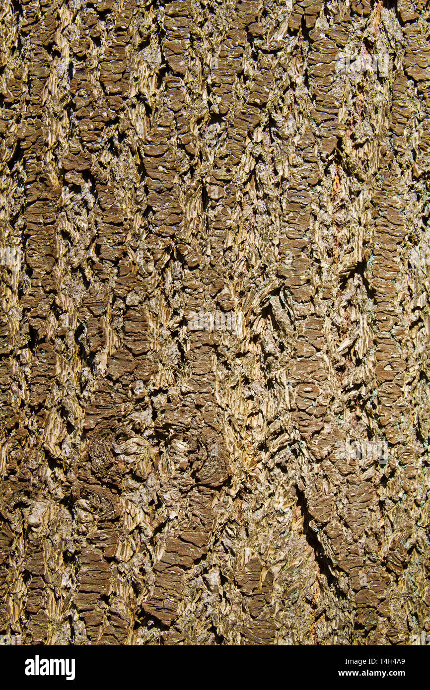 Close-up of the bark of a Norway spruce - Stock Image