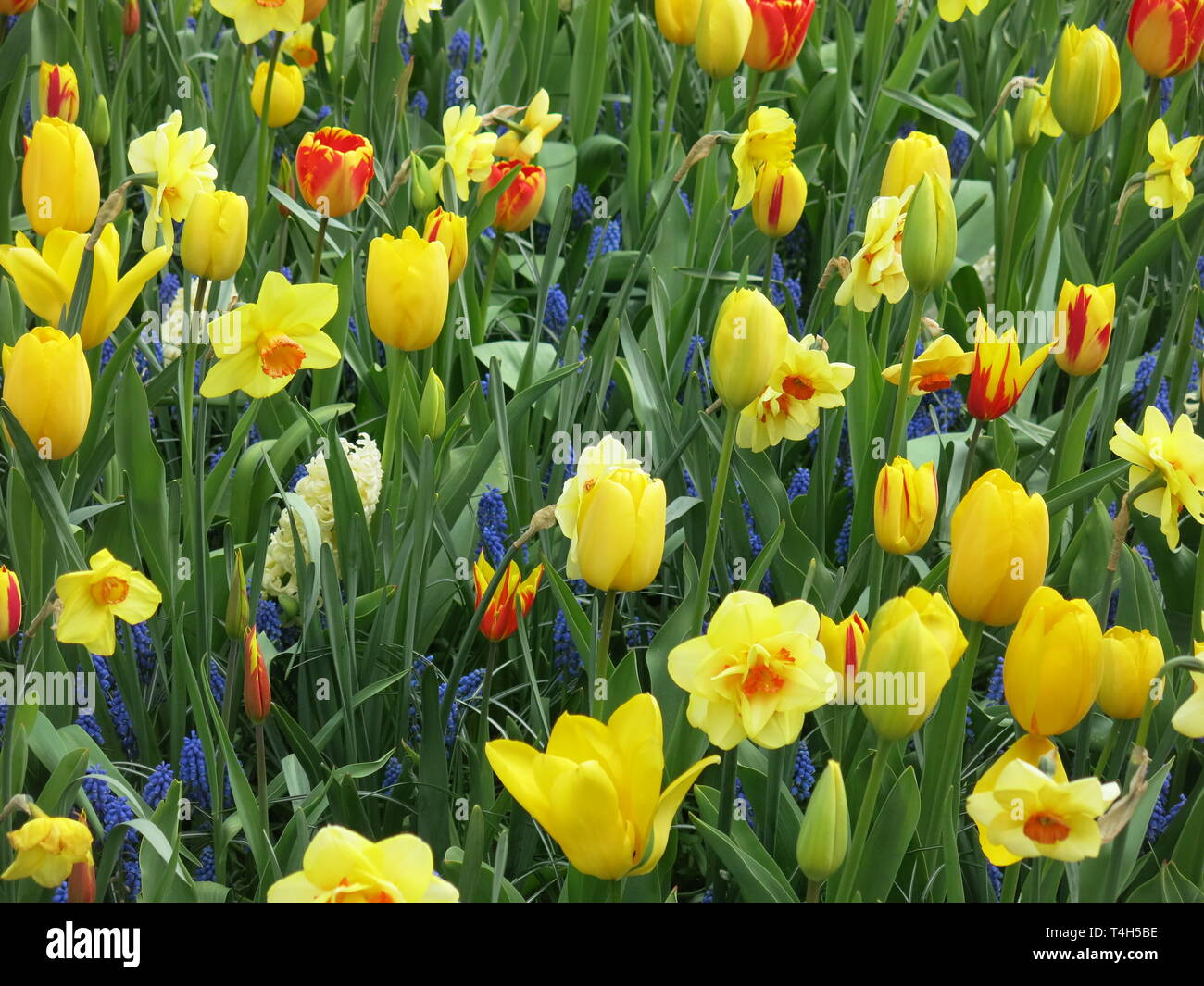 A mass of spring bulbs at the Keukenhof flower festival: yellow tulips and daffodils underplanted with blue muscari; April 2019 Stock Photo