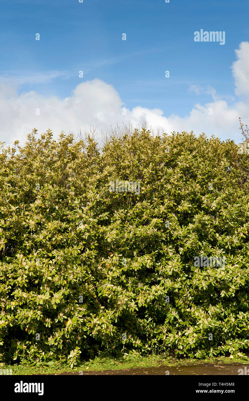 LAUREL HEDGE PRUNUS LAUROCERASUS SCOTLAND IN SPRING WITH FLOWERS UNDER A BLUE SKY - Stock Image