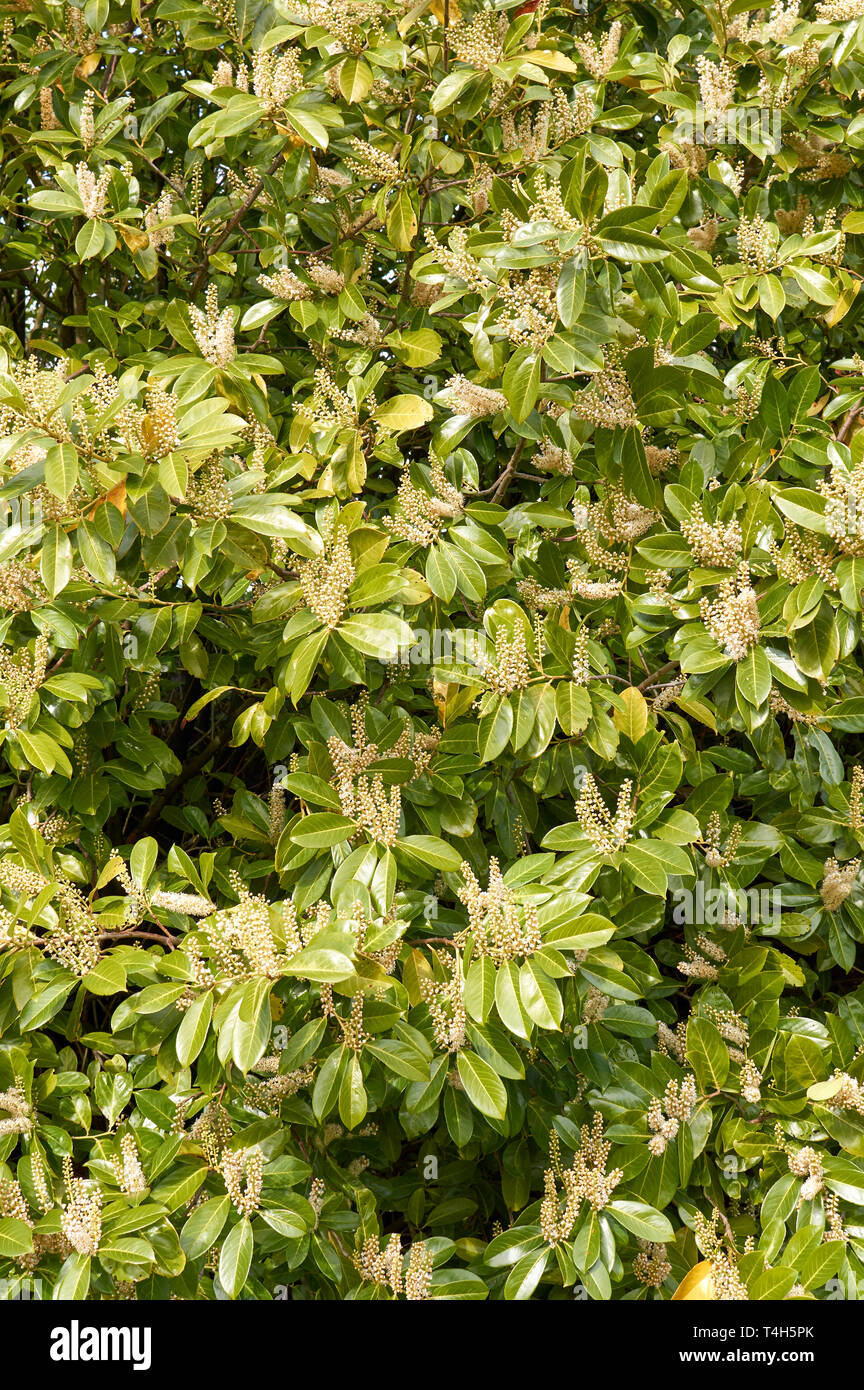 LAUREL HEDGE PRUNUS LAUROCERASUS SCOTLAND IN SPRING WITH FLOWERS - Stock Image
