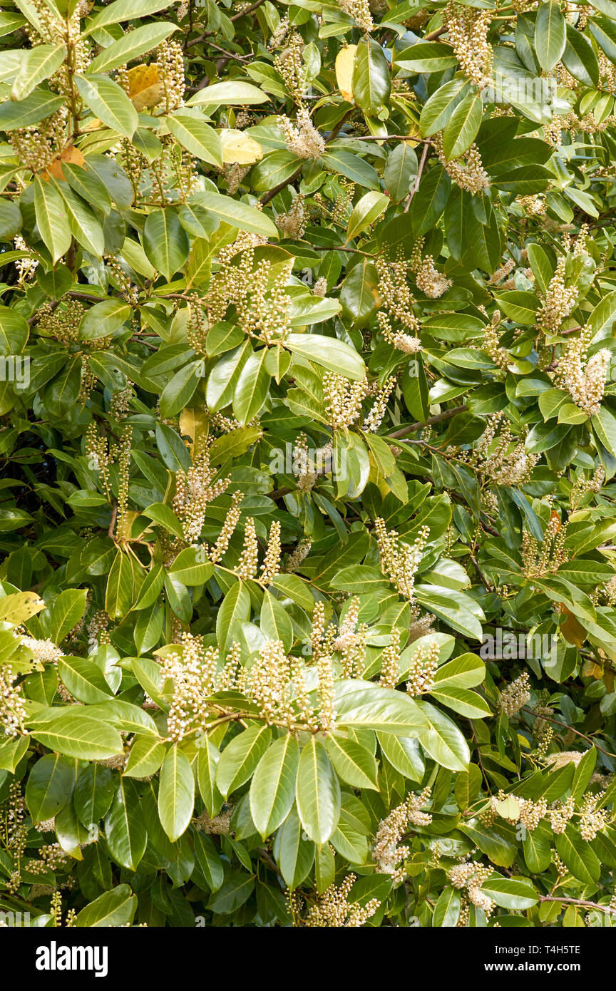 LAUREL HEDGE PRUNUS LAUROCERASUS SCOTLAND IN SPRINGTIME WITH FLOWERS - Stock Image