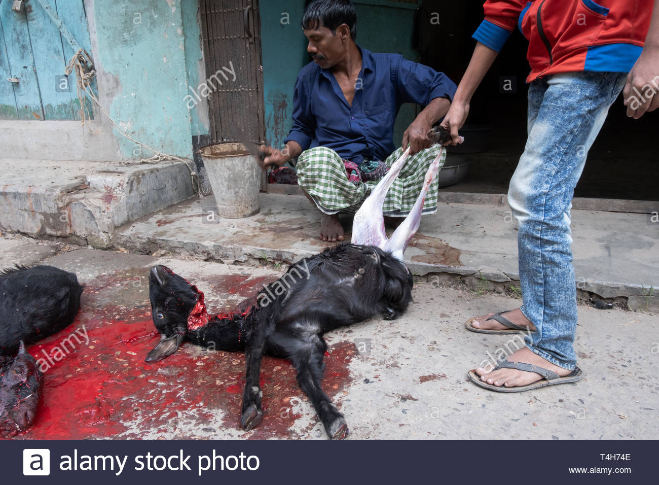 butcher in the slaughterhouse killing and preparing black goat lying on the ground, cut throat, blood around, scary, disgusting scene Stock Photo