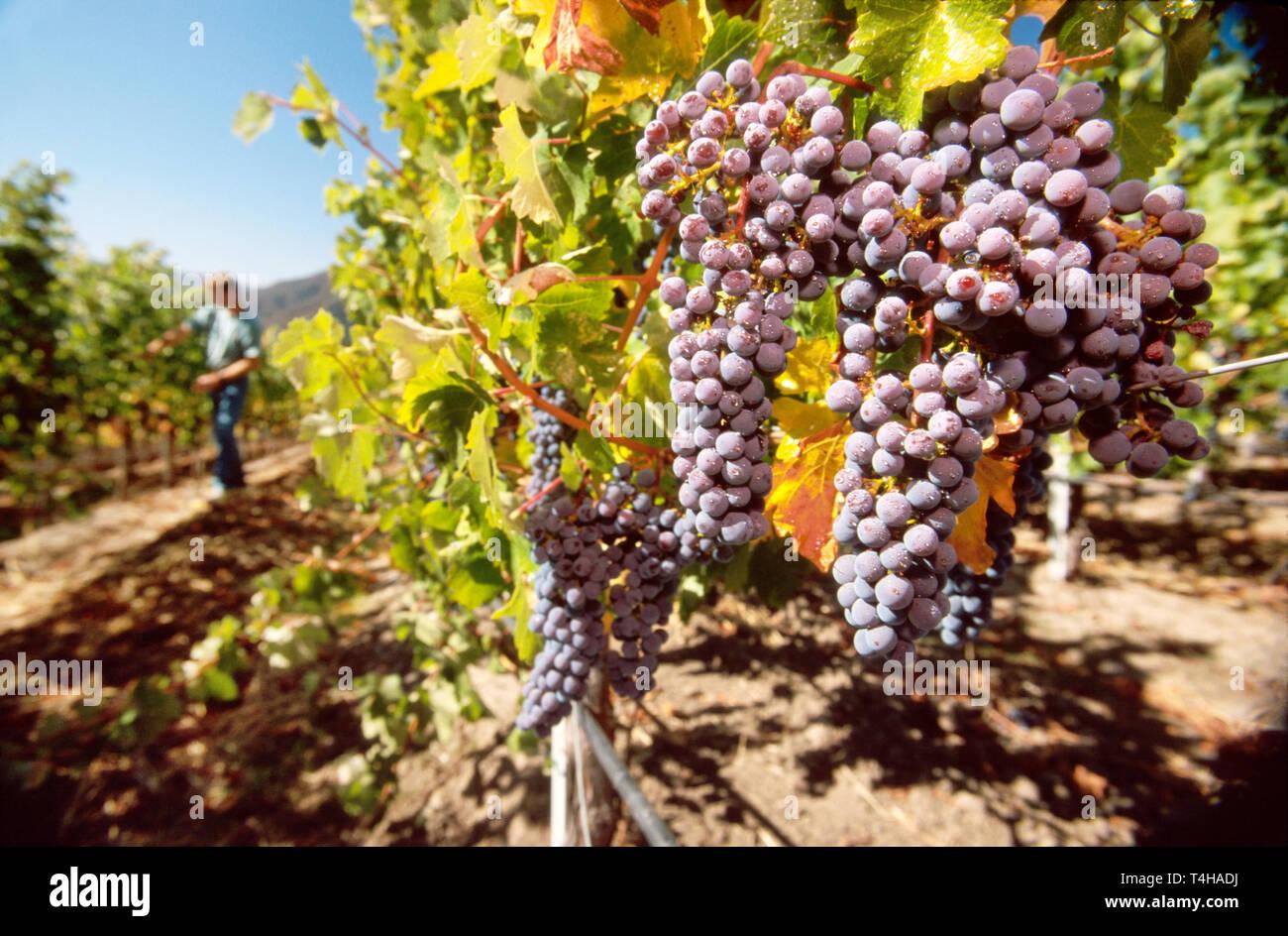 California Monterey County Carmel Valley Bernardus Marinus Vineyard Cabernet grapes before harvest - Stock Image