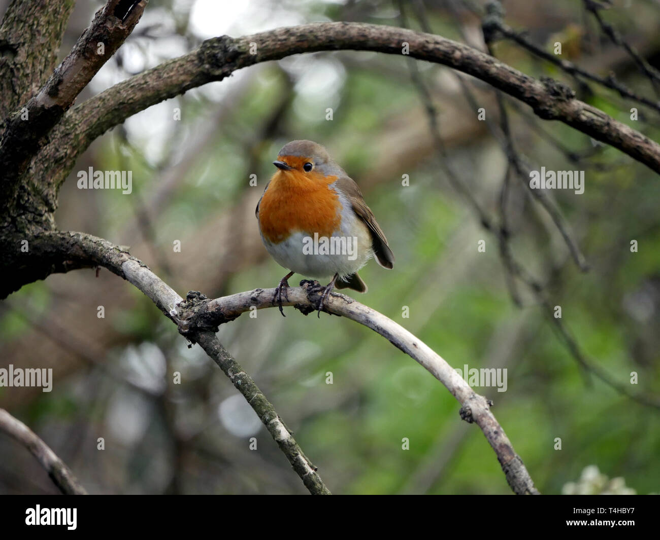 Robin redbreast - Erithacus Rubecula perched on a branch Stock Photo