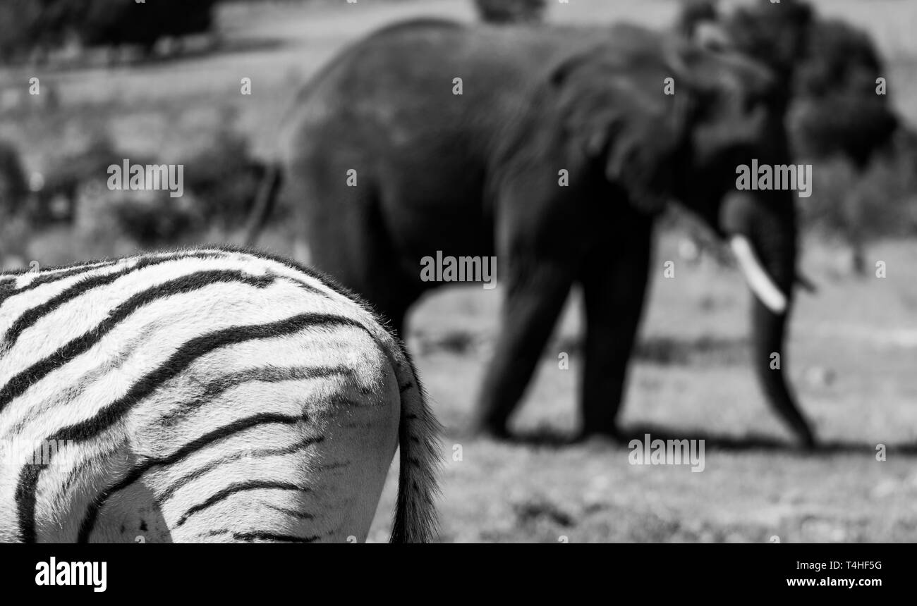 African elephant, photographed at Knysna Elephant Park in the Garden Route, Western Cape, South Africa Stock Photo