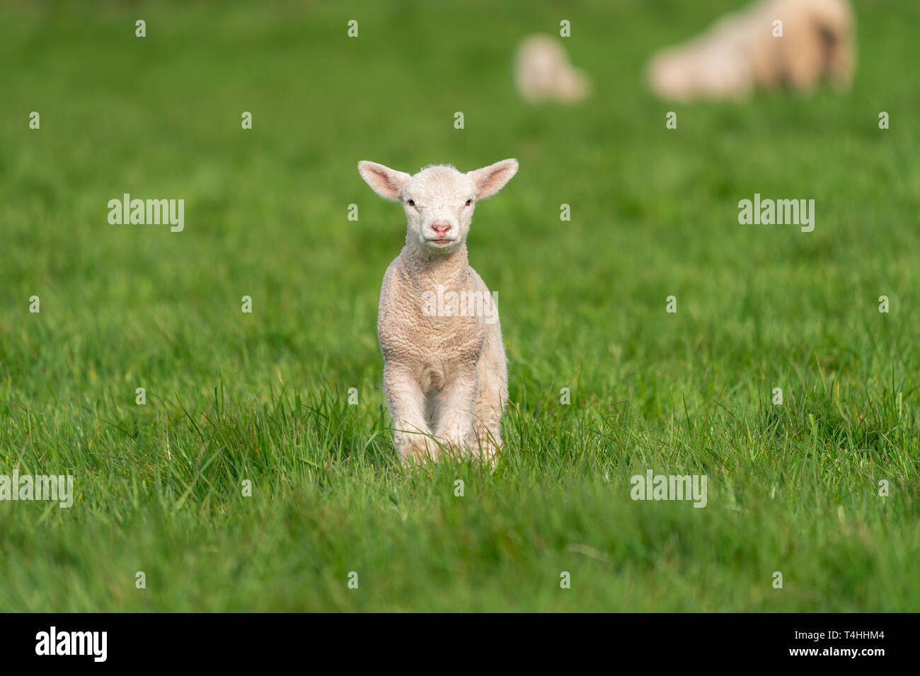 Portrait of a baby lamb in a field of green grass in Spring. Stock Photo