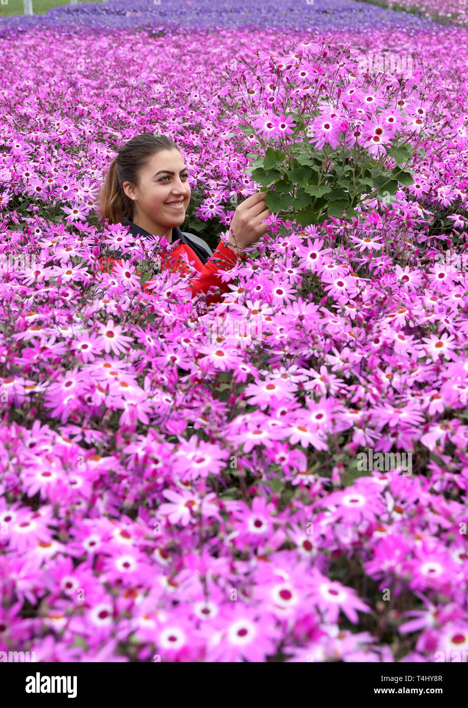Spalding, Lincolnshire, UK. 16th Apr 2019. It's a blaze of colour in the glasshouse as Maria Constantinescu stands amongst thousands of Senetti flowers at Neame Lea Nurseries in Spalding, are in perfect condition to hit the shops for Easter Bank Holiday weekend, with a warm weekend forecast. Flowers, Neame Lea Nurseries, Spalding, Lincs., April 16, 2019. Credit: Paul Marriott/Alamy Live News - Stock Image