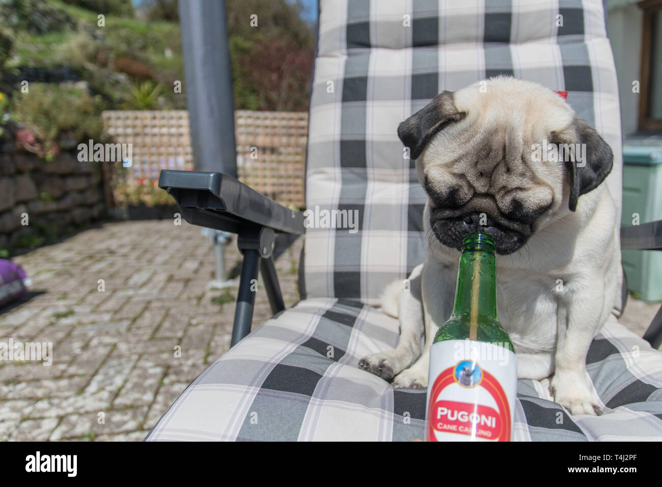 Mousehole, Cornwall, UK. 17th April 2019. UK Weather. Titan the pug out enjoying the sunshine ahead of the Easter bank holiday. Credit: Simon Maycock/Alamy Live News Stock Photo