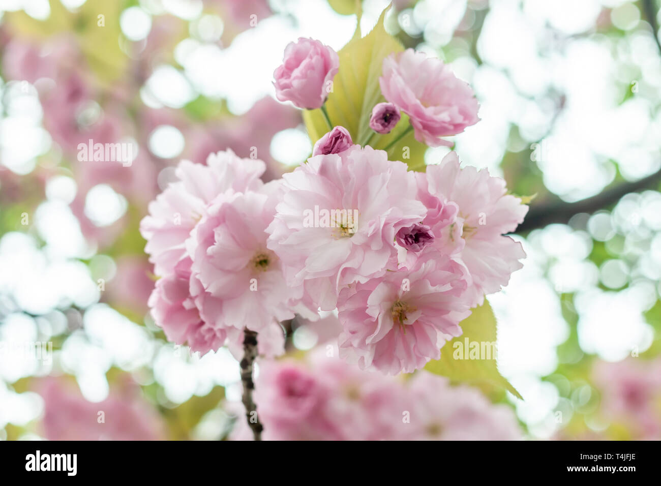closeup fruit tree pink flowers spring blossom - Stock Image