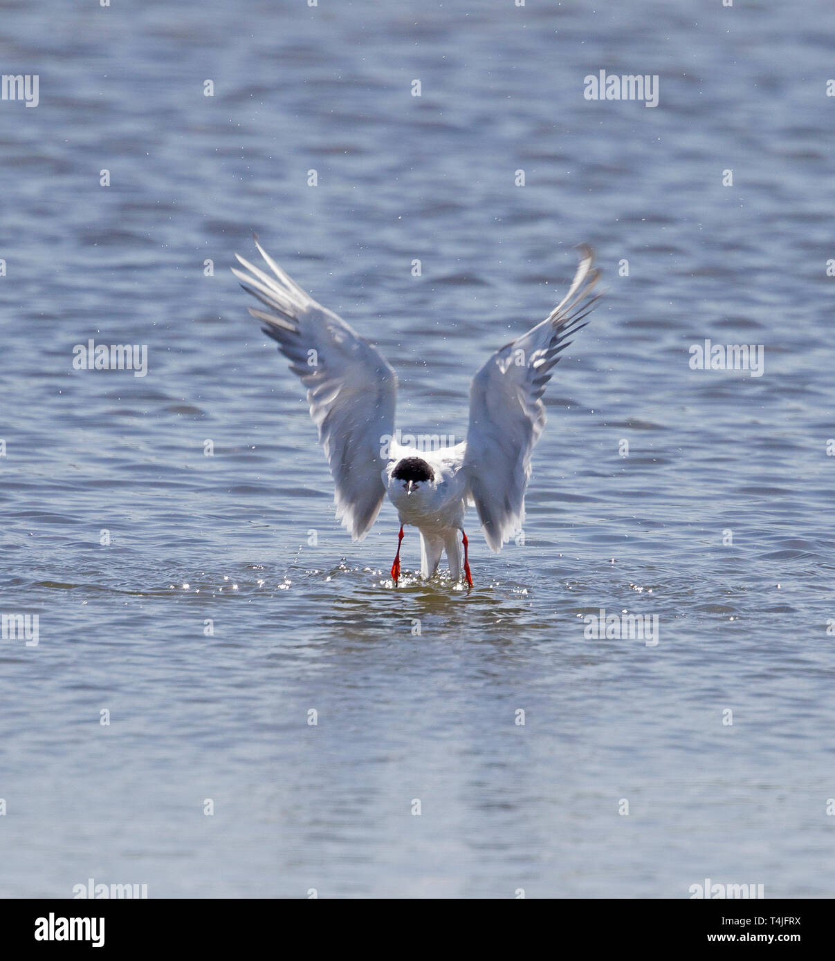 Forster's Tern Starting Takeoff after Diving - Stock Image