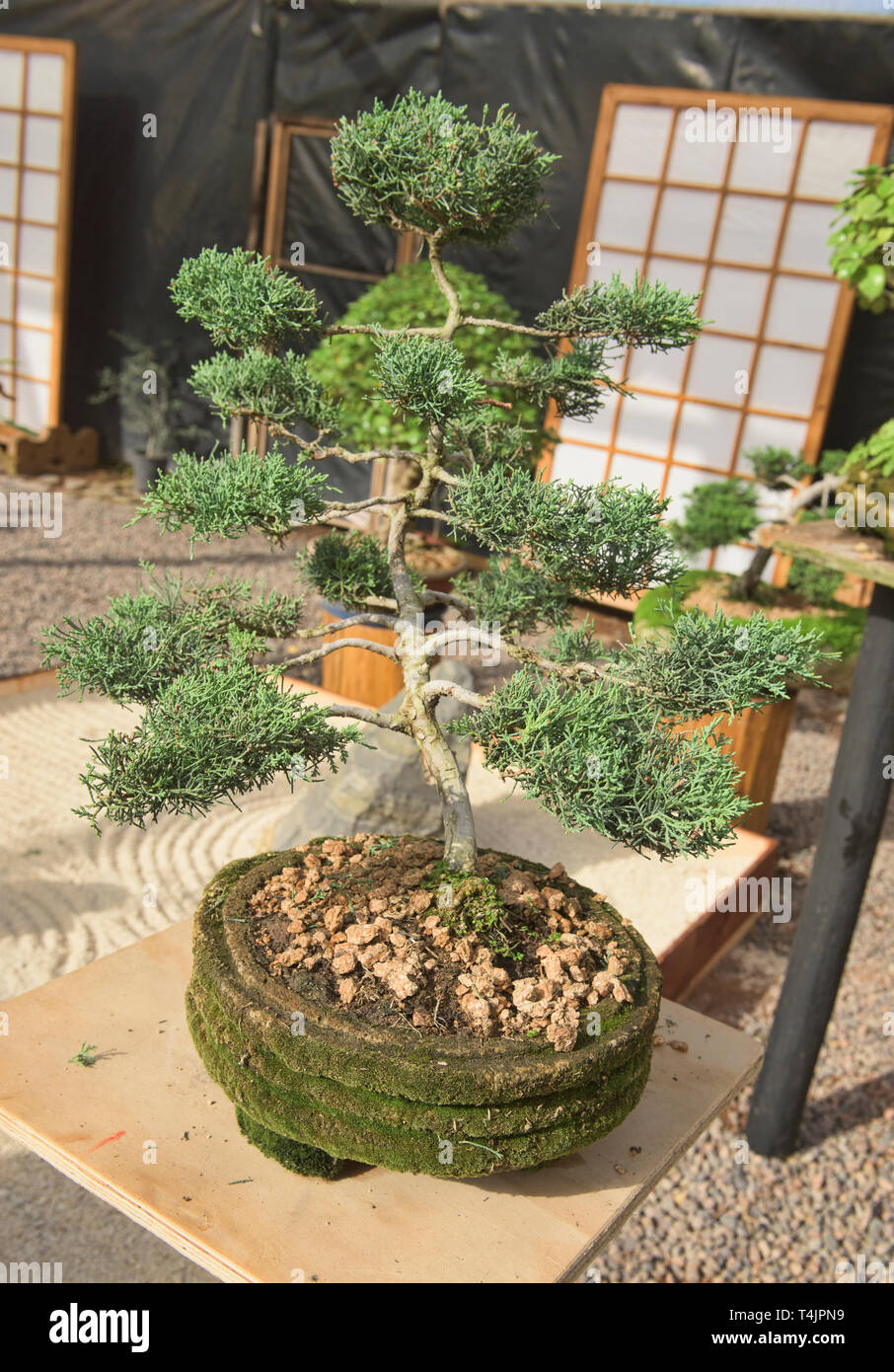 Bonsai tree in the Jardin de Corazon Japanese garden, La Serena, Chile - Stock Image