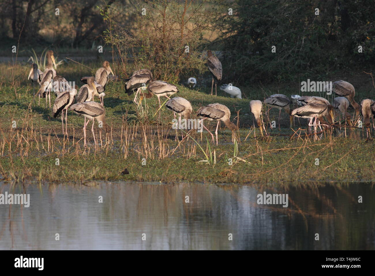 Young painted storks feeding in Keoladeo National Park, Rajasthan - Stock Image