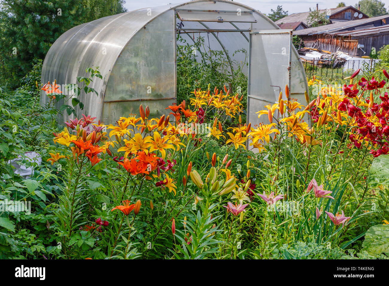 greenhouse with tomatoes, Alstroemeria Sweet Laura, yellow flowers in the garden - Stock Image
