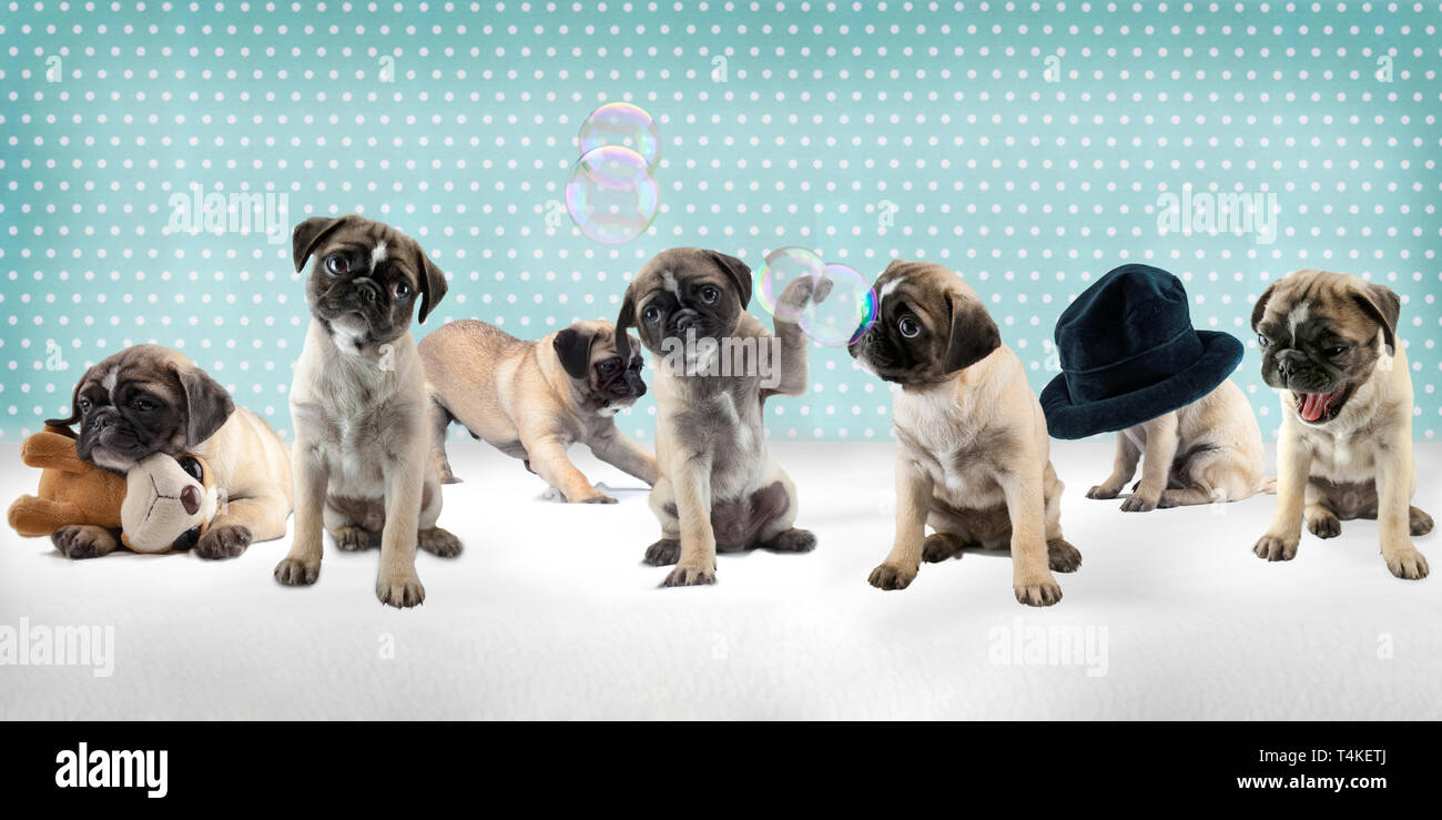 7 Dogs Puppy of Breed Pug doing funny things. Isolated dogs in front of turquoise background. They behave like young dogs. - Stock Image