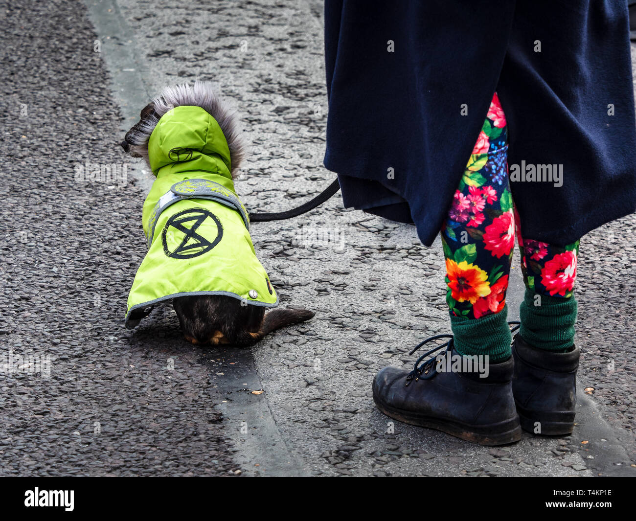 A dog joins in the Extinction Rebellion non violent protests on Waterloo Bridge. - Stock Image
