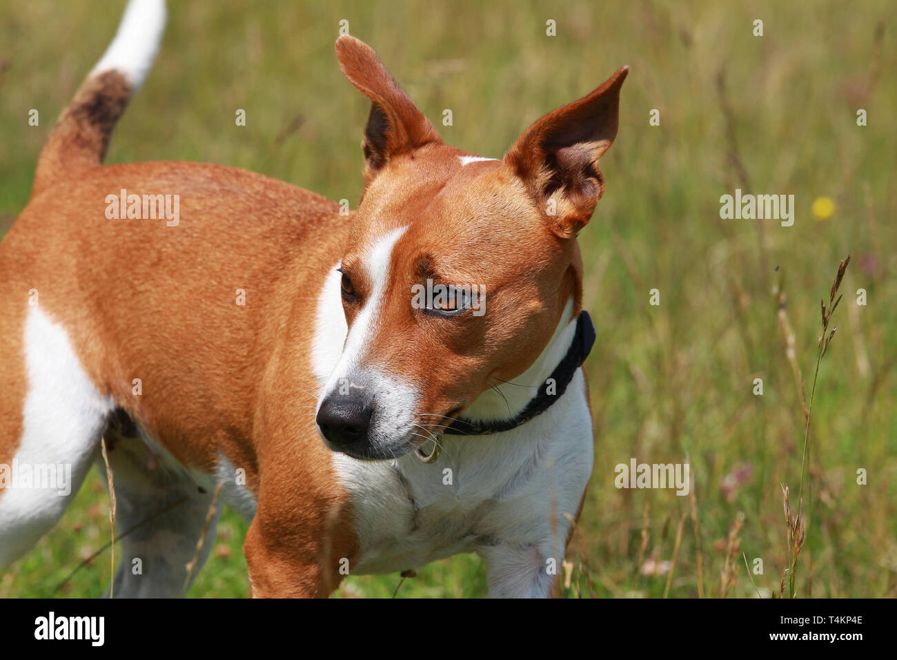 Jack Russsell terrier - Stock Image