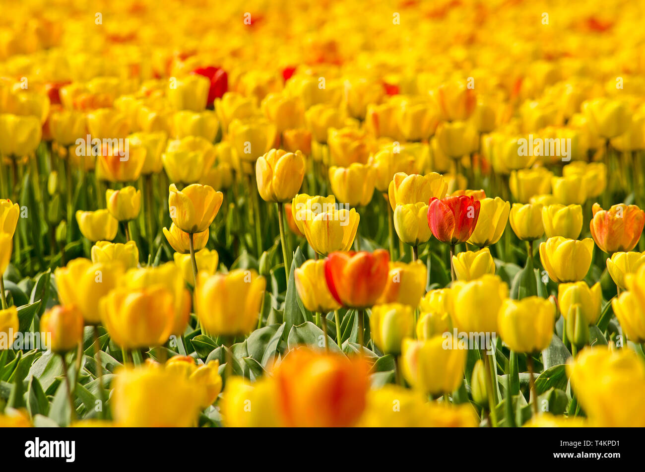 Close-up of a flower field near Noordwijkerhout, The Netherlands, with yellow tulips and some reddish orange accents - Stock Image