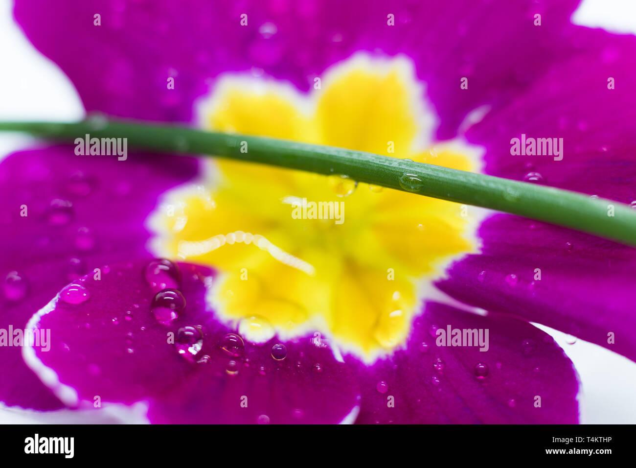 primula in the rain - Stock Image