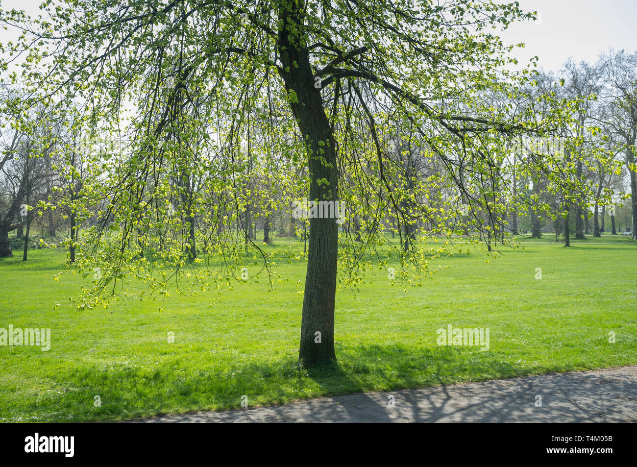 Fresh green foliage on a tree in Hyde Park, London in Spring - Stock Image