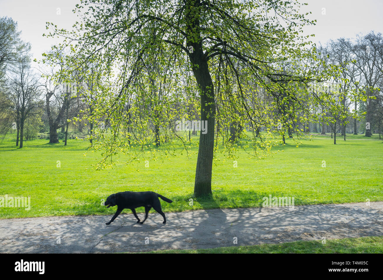 A labrador walks by the fresh green foliage on a tree in Hyde Park, London in Spring - Stock Image