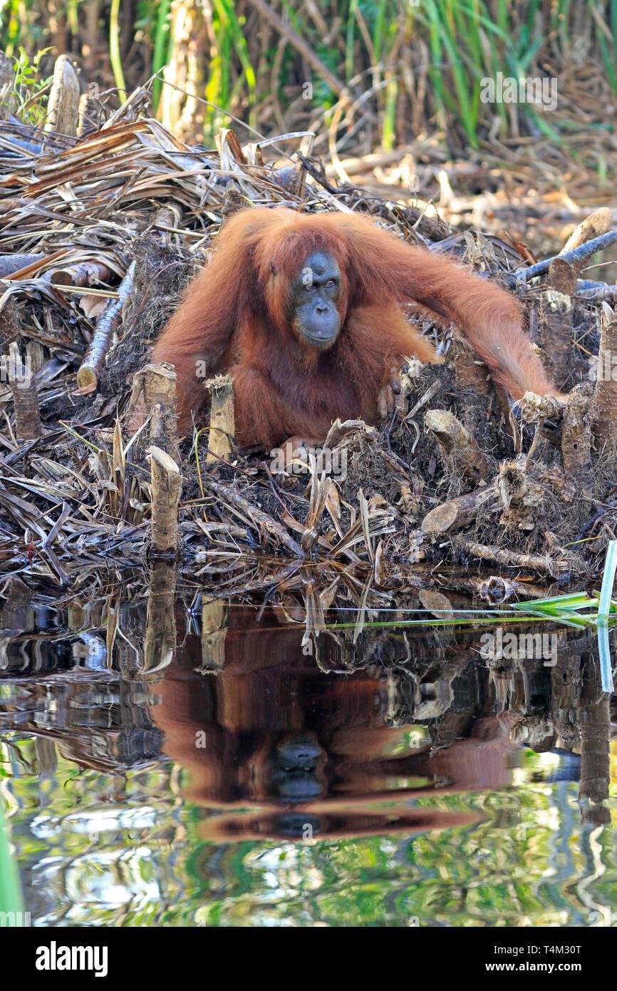Orangutan in Tanjung Puting Nature Reserve Kalimantan Borneo Indonesia - Stock Image