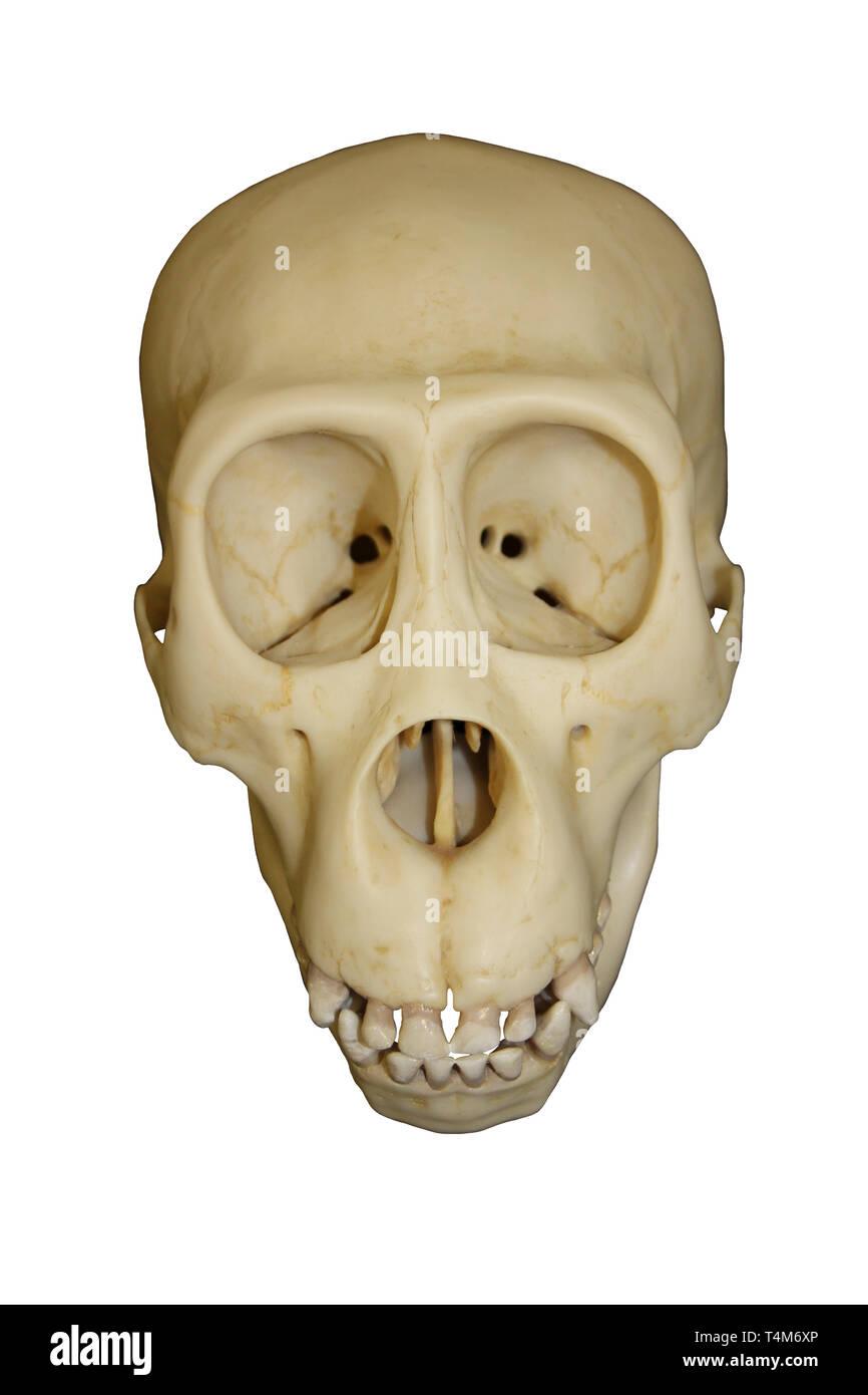 Young Gorilla Skull - Stock Image