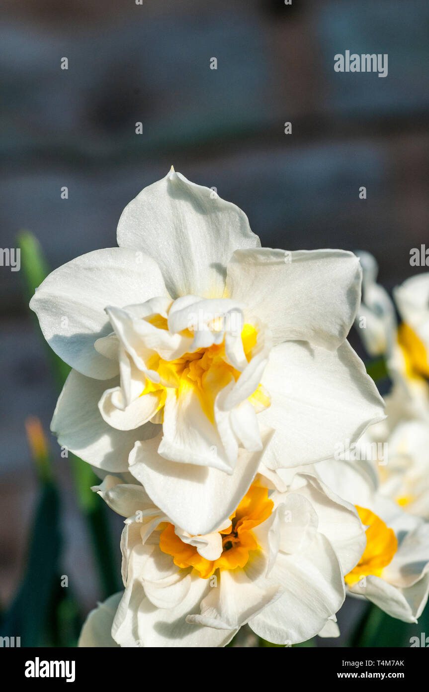 Narcissus Cheerfulness flowering in mid-spring  A Double Narcissus with white petals and a yellow cup that belongs to the Double group Division 4. - Stock Image