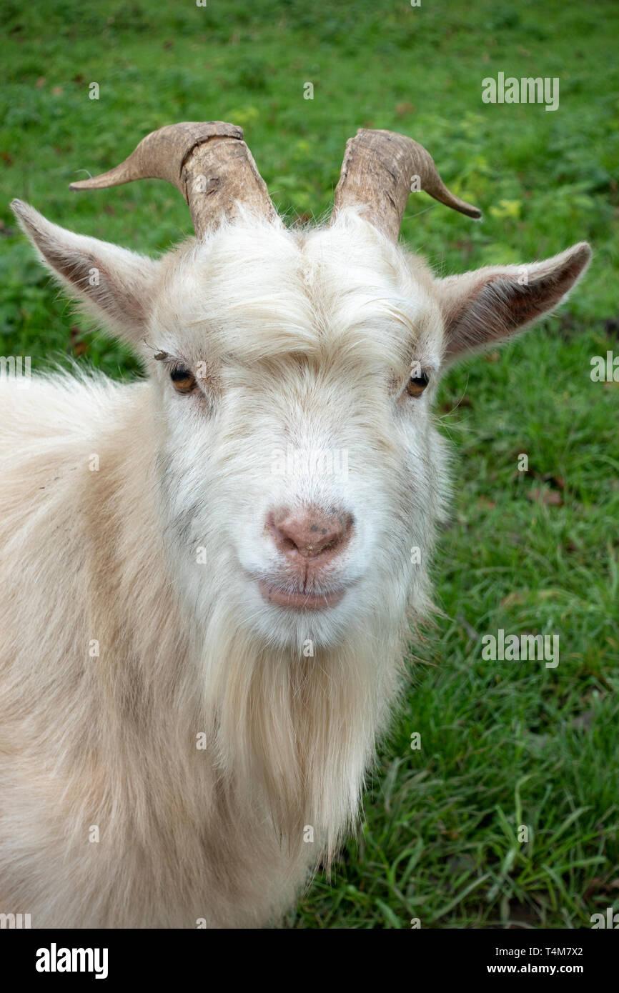 Close up of a white coloured pygmy goat in the Newpark Wildlife Farm, Newpark Hotel Kilkenny, County Kilkenny, Eire. - Stock Image