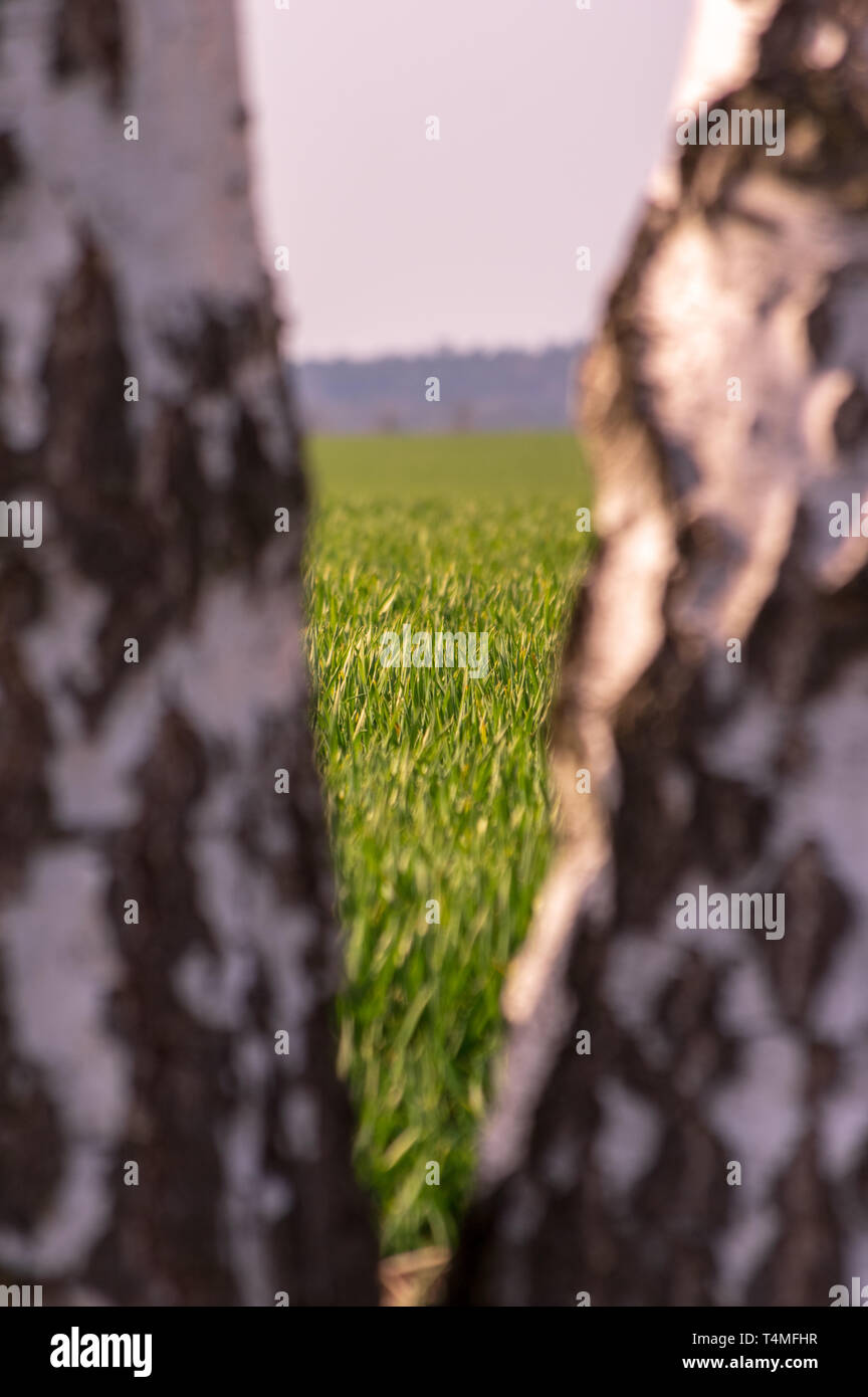 seeing a field of young wheat through a gap between two young birch trees - Stock Image