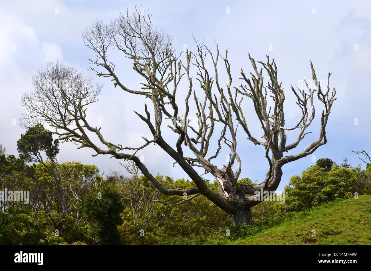 Old tree near the hamlet of Lapa in Santa Maria island, Azores - Stock Image