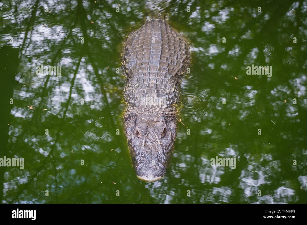 Caiman in a zoo, Guyana, Cayenne, France - Stock Image