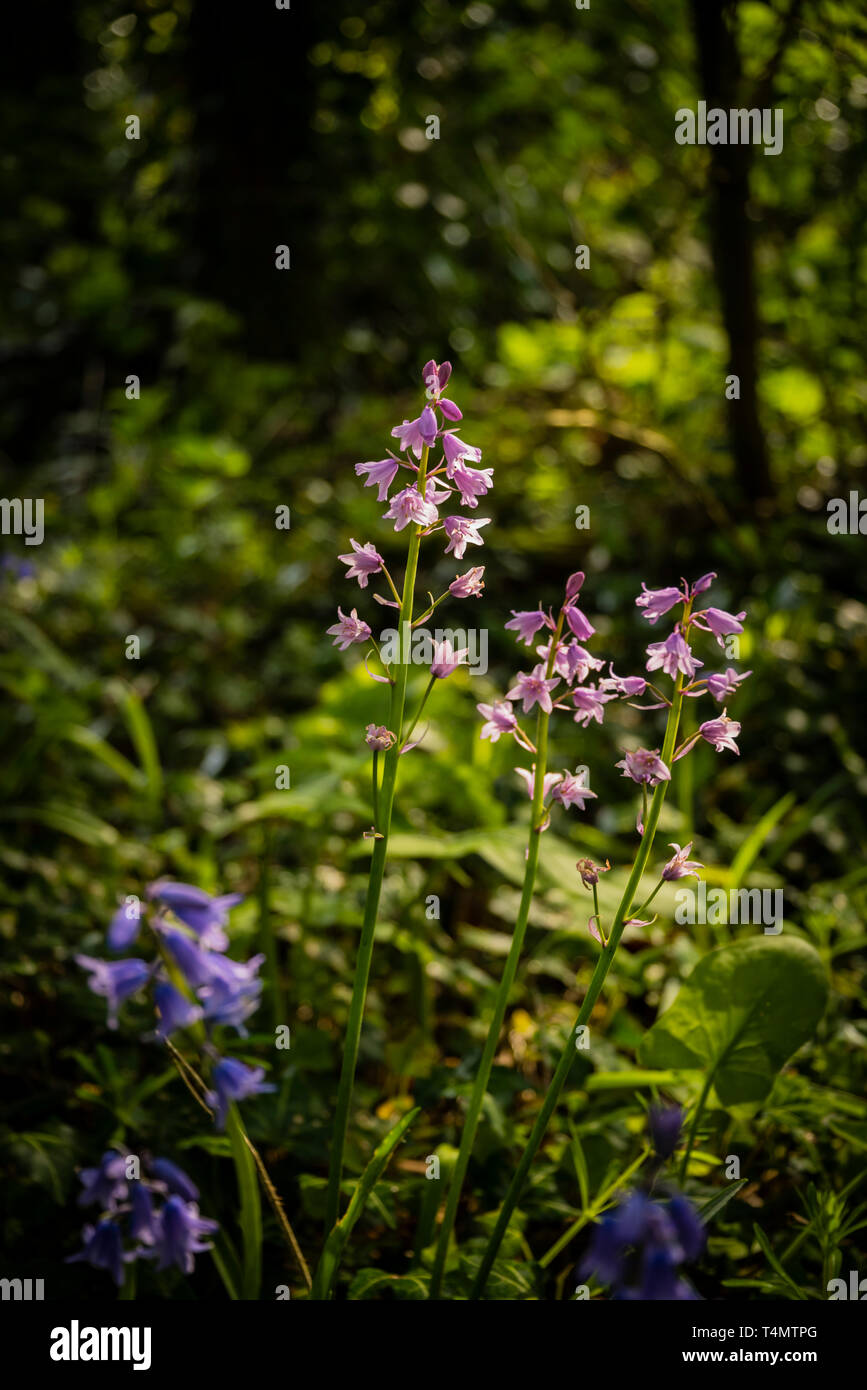 Spring flowering pink Spanish bluebells ( Hyacinthoides hispanica) an English woodland setting. Stock Photo