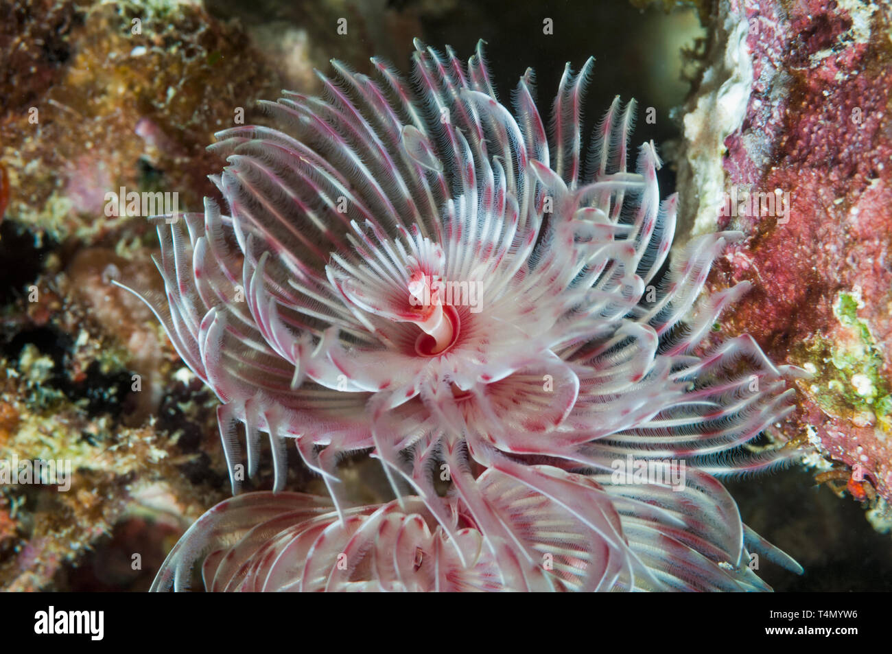 Magnificent tube worm, Feather duster worm [Protula magnifica].  North Sulawesi, Indonesia. Stock Photo