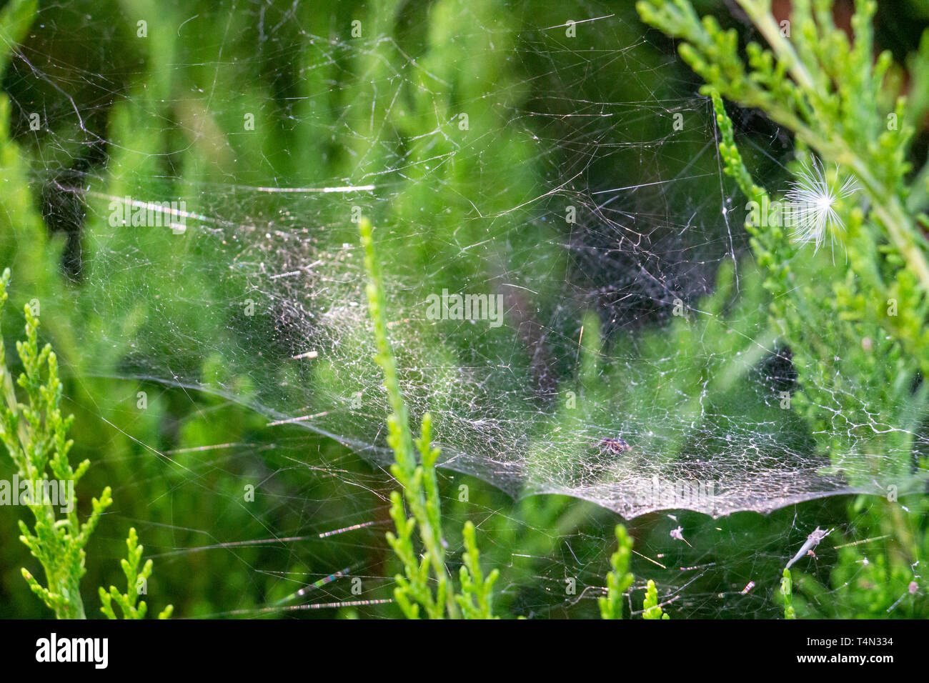 A parachute seed caught in a tangle web on blurred green conifer hedge branches in Krum, Southern Bulgaria - Stock Image