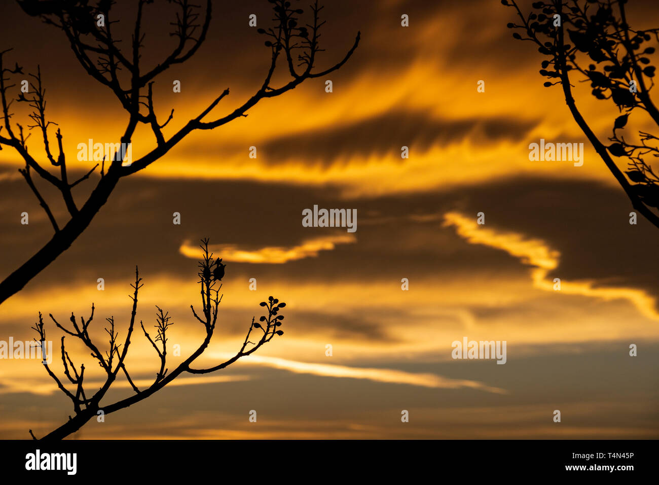Beautiful sunset behind winter Paulownia tree branches in Krum, Southern Bulgaria Stock Photo