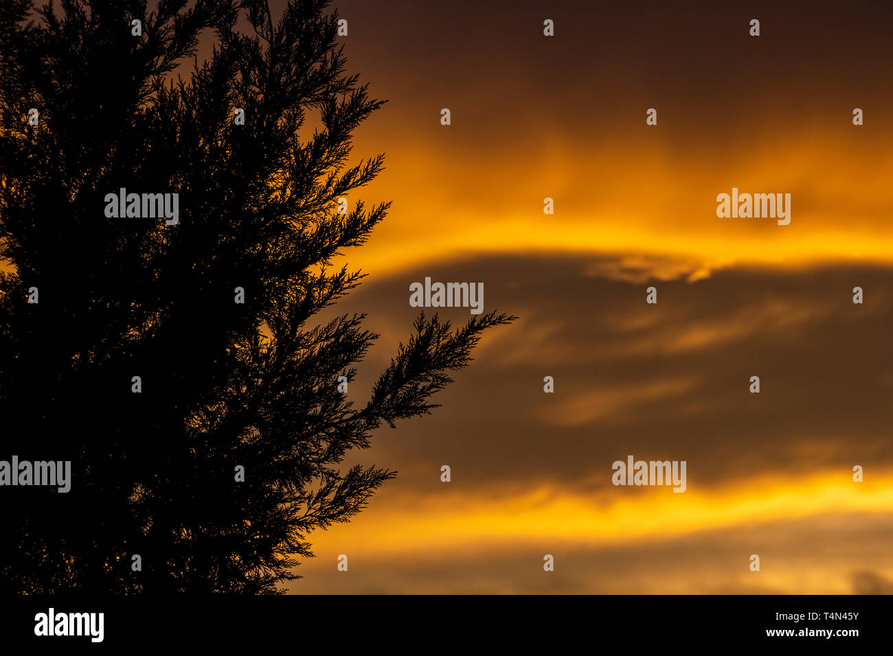 Beautiful winter sunset over conifer hedge branches in Krum, Southern Bulgaria - Stock Image