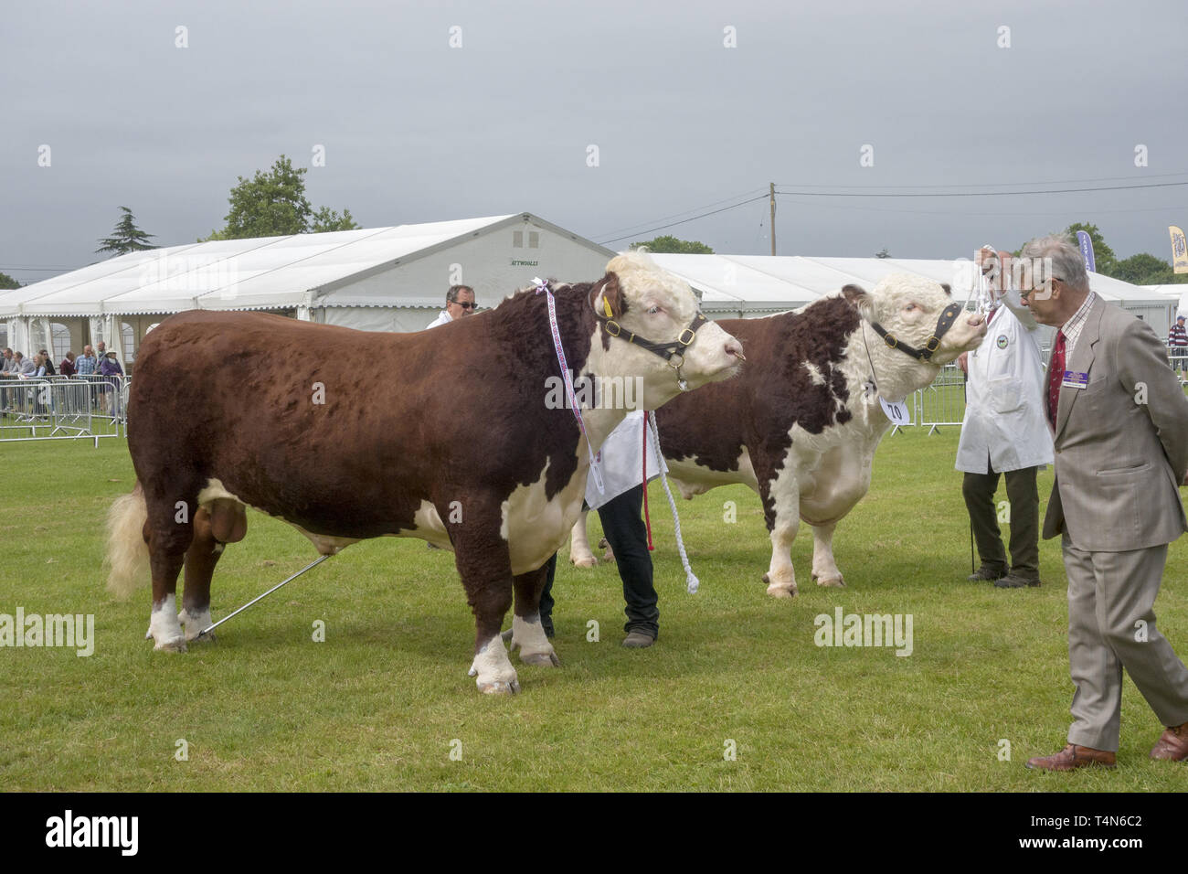 Cattle judging at the South of England Agricultural Show, Ardingly, Sussex, UK - Stock Image