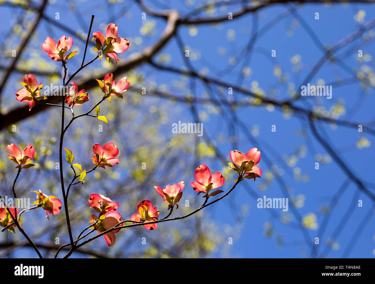 Pink dogwood blooms illuminated in the North Carolina woods. Stock Photo
