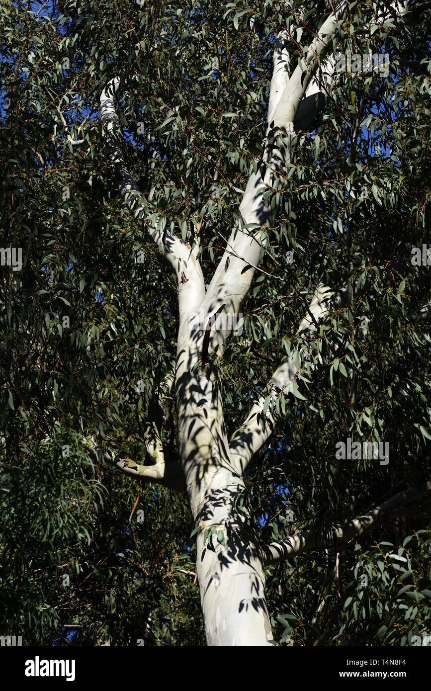 White trunk and branches of Eucalyptus - Stock Image