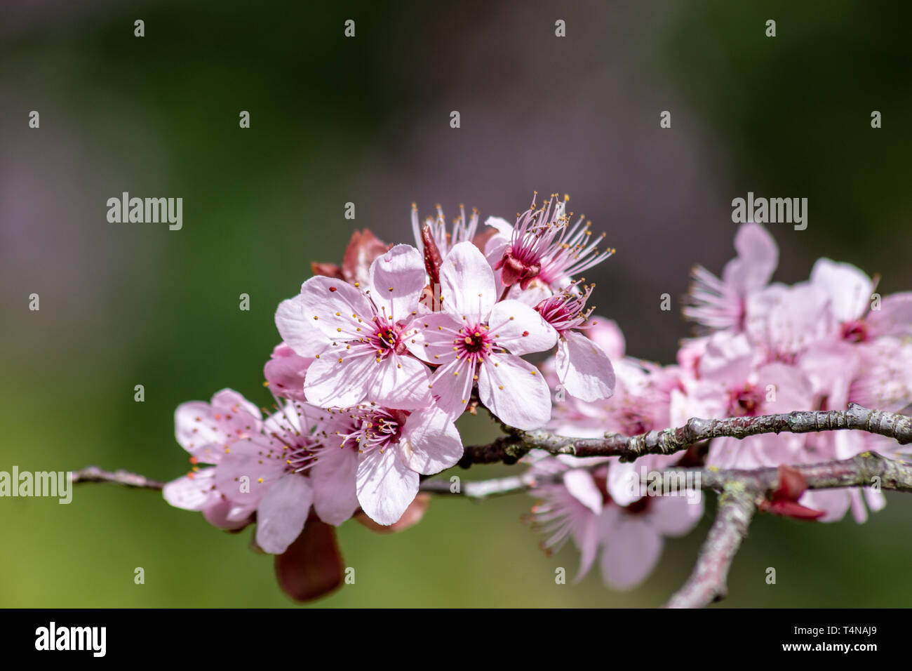 Close up of Prunus Cerasifera Pissardii cherry-plum tree blossom with pink flowers on blurred garden background in spring sunshine Stock Photo