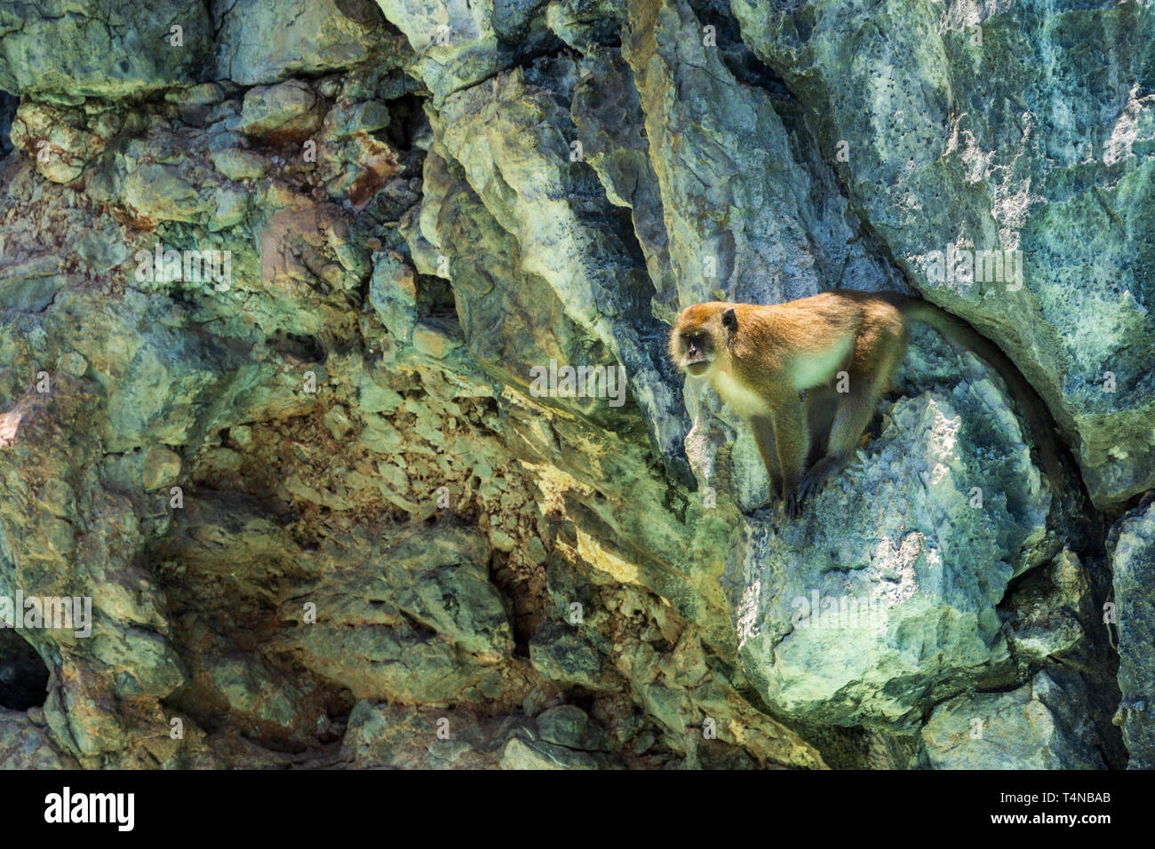 Adult big monkey, Rhesus Macaque, sitting on the cliff and guarding the pack, isolated on rocky background Stock Photo