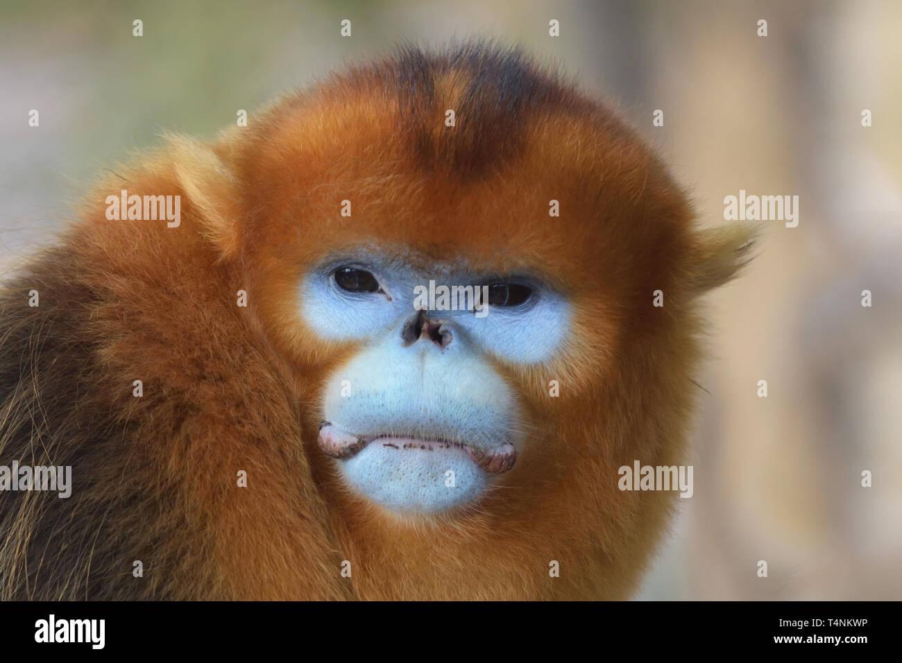Male Golden Snub-nosed Monkey (Rhinopithecus roxellana) in the Chinese mountains. - Stock Image