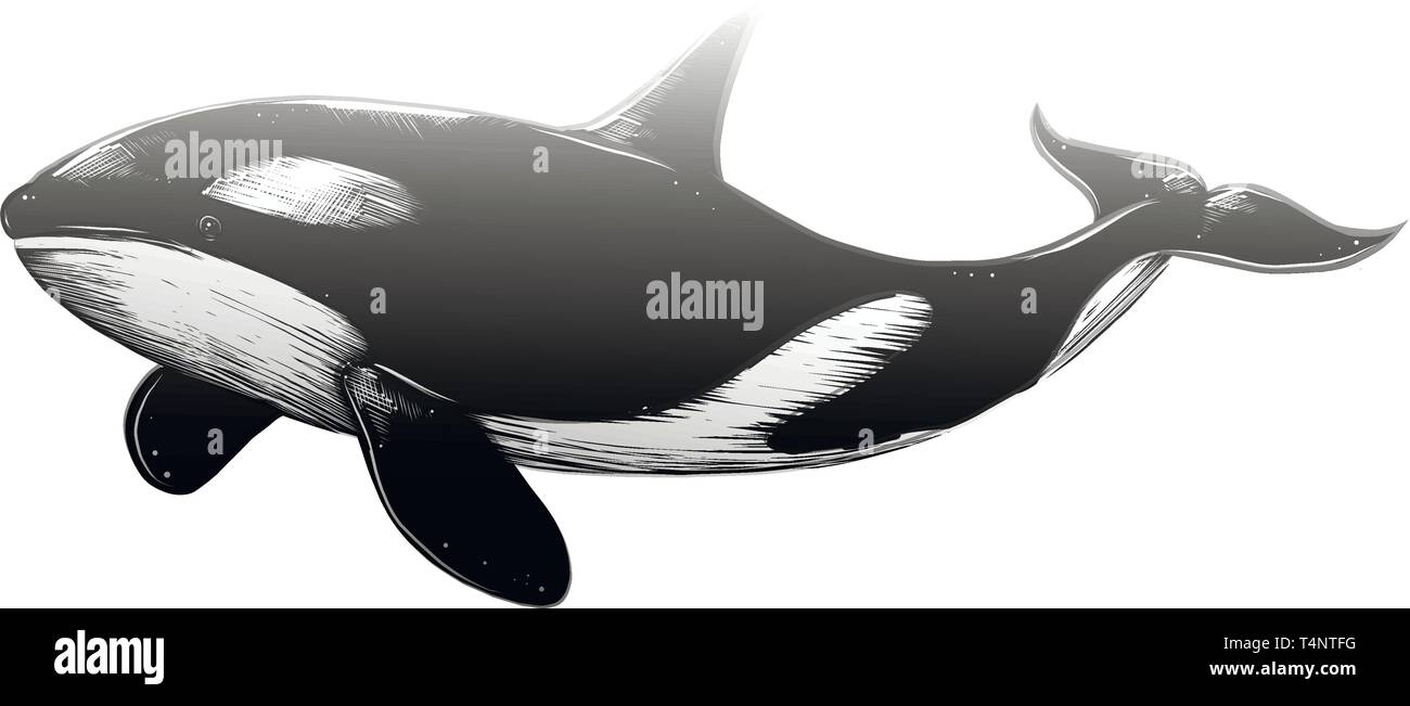 Vector Drawing Of Killer Whale In Black Color Isolated On White Background Graphic Illustration Hand Drawing Drawing For Posters Decoration And Stock Vector Image Art Alamy