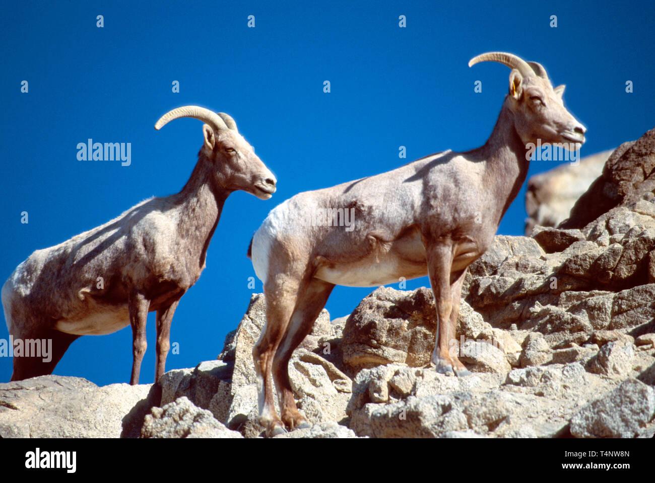 California Palm Desert The Living Desert Wildlife Park Desert Bighorn Sheep rocks - Stock Image